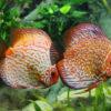 Diagnóstico de los problemas de las plantas de acuario