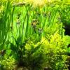 Fertilizar las plantas del acuario