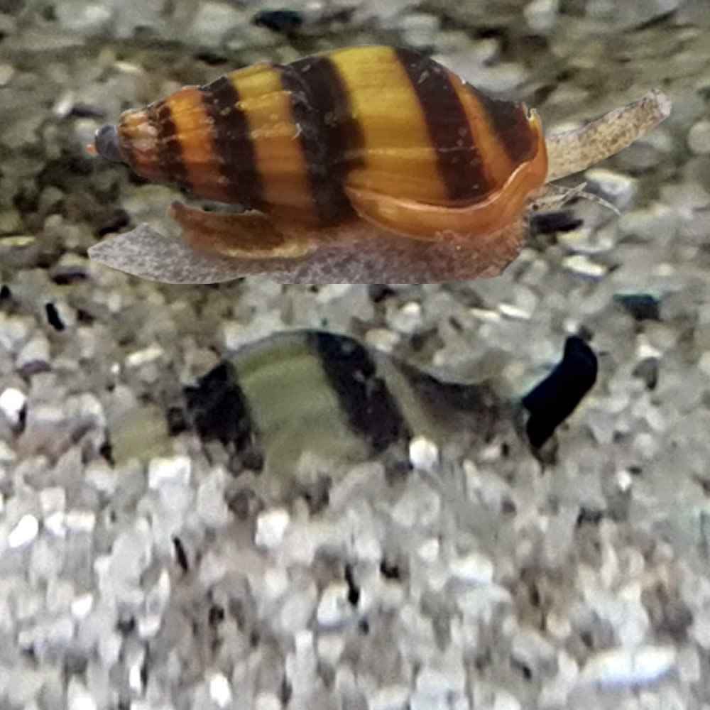 Caracol Clea helena (Anentome Helena)