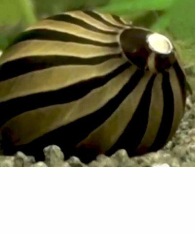 Caracol cebra de carreras – Neritina turrita
