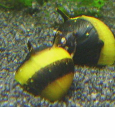 Caracol cornudo – negro y dorado – Clithon sp.
