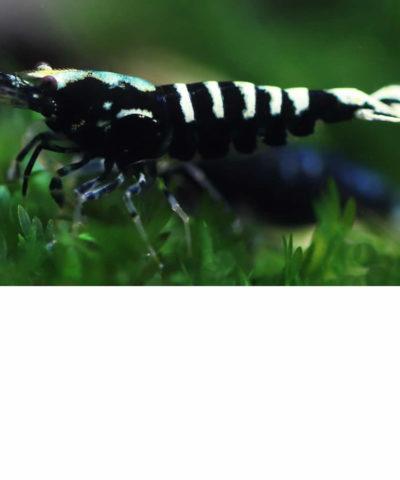 Gamba Black Galaxy Fishbone – Caridina sp.