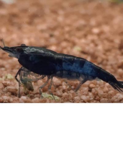 Gamba Blue Rili – Blue Carbon Rili – Neocaridina davidi