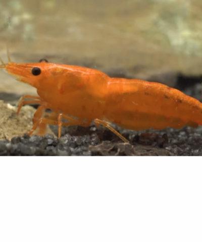 Gamba Orange Fire – Sakura Sunkist – Neocaridina davidi «Orange»