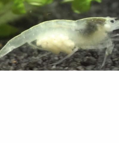 Gamba White Pearl – Neocaridina palmata «White»