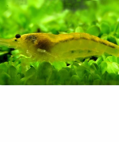 Gamba Yellow Fire – Gamba amarilla – Neocaridina davidi
