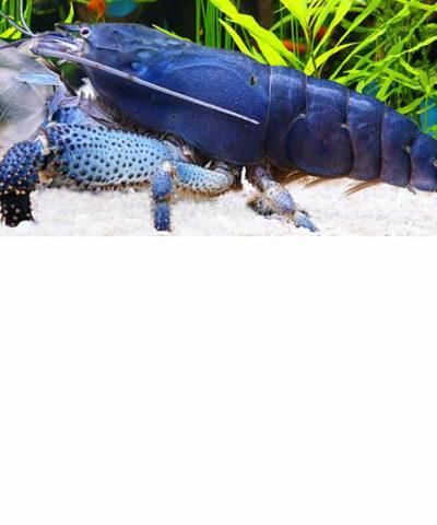 Gamba filtradora azul – Atya gabonensis