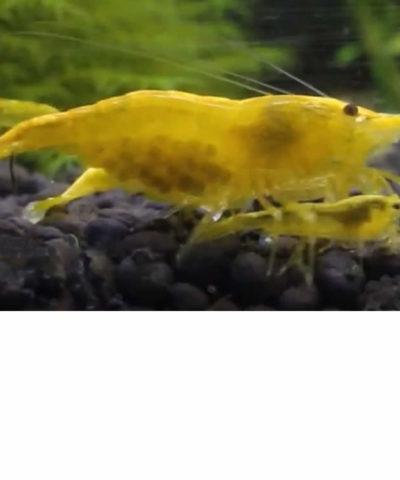 Gamba yellow golden back