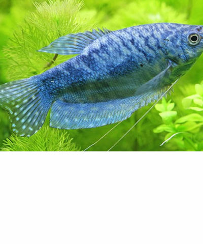 Gourami azul – Trichogaster trichopterus