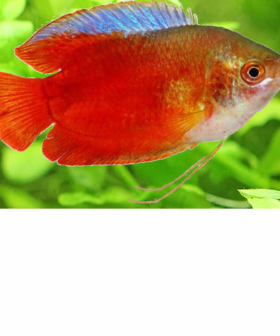 Gourami enano «Rojo» – Trichogaster lalius