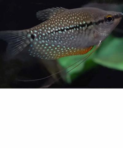 Gourami mosaico – Trichogaster leeri